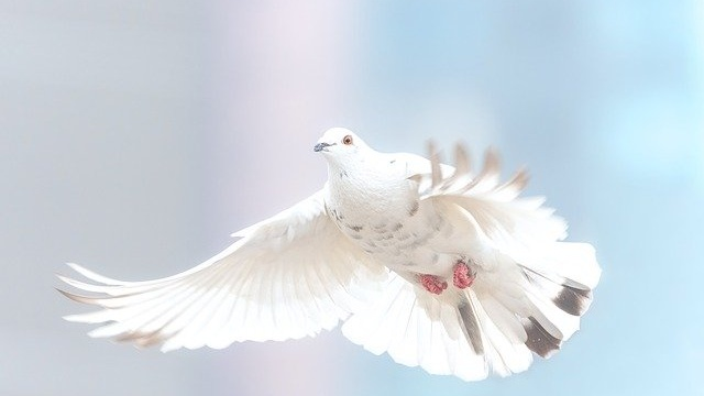 peace-dove-Cropped